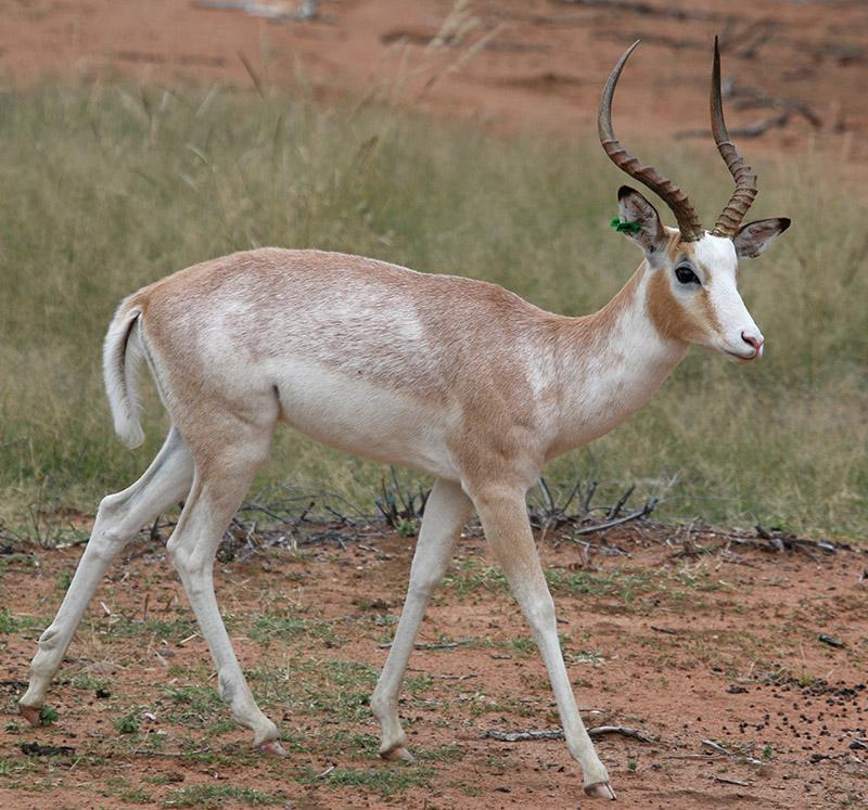 White-Flanked Impala Ram