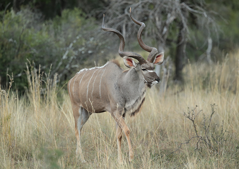 Young Kudu Bull2