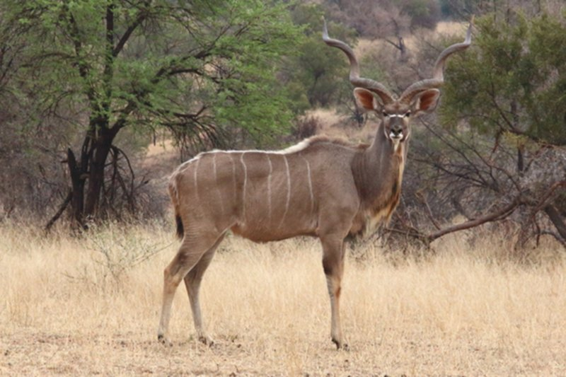 Young Kudu Bull3